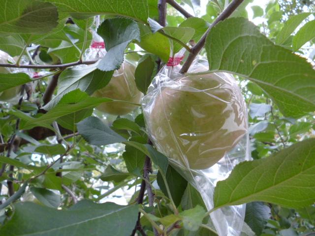 林檎の樹 林檎