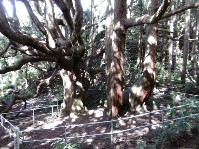 高杉殿の杉4