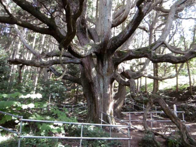 高杉殿の杉2