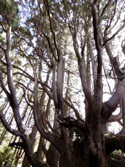 高杉殿の杉1