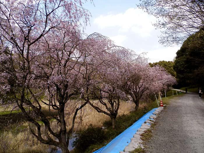 立田山自然公園 しだれ桜